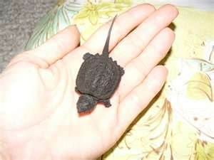 New born Snapper Turtle