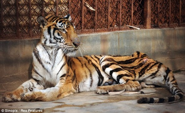 Bengal Tiger, being starved to make tiger bone wine.