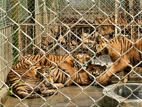 Cage full of Bengal Tigers. This is not the way our cats should be kept.