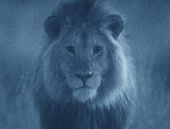 West African Lion taken using a Starlight Camera.