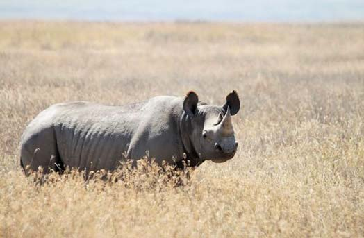 rhino horns value