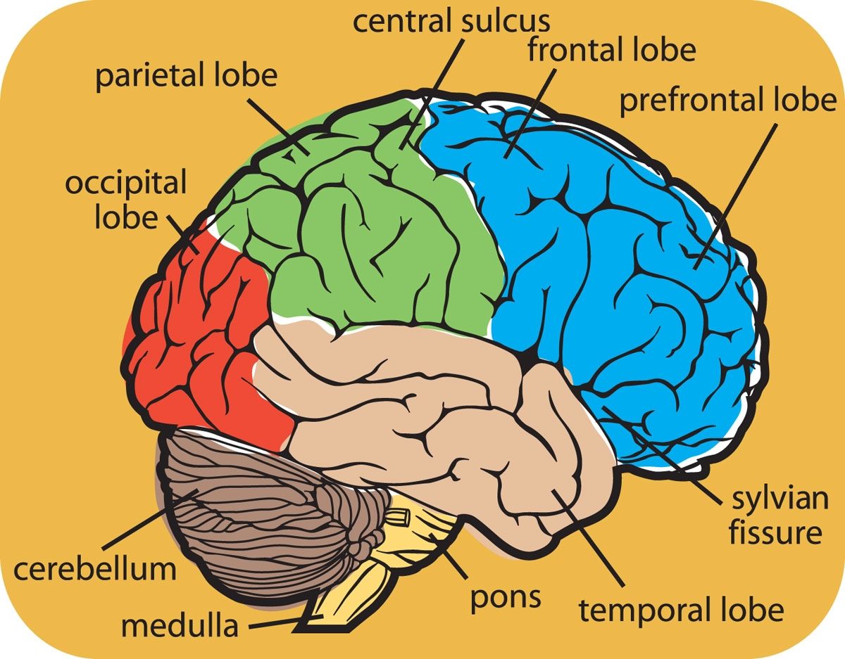 Diagram of the brains working  Labeled Inside Brain Model
