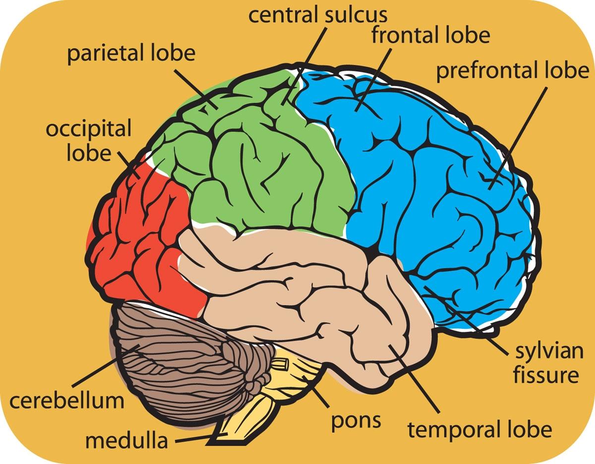 Bird Brain Simple Diagram - Example Electrical Circuit •
