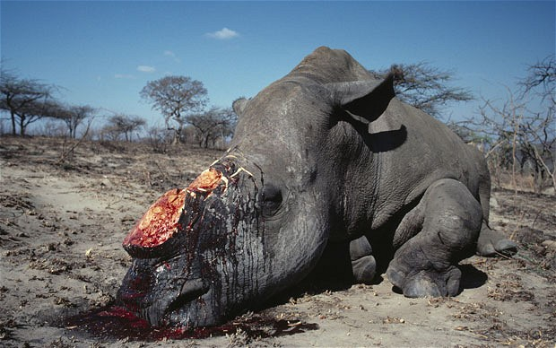 animal poaching Poaching: illegal hunting by poaching has plagued environmentalists for years and,despite laws, this horrific crime has yet to be stopped poaching is aserious problem, especially in africa and asia this crime is committed forcommercial profit, meaning hunters kill animals illegally.