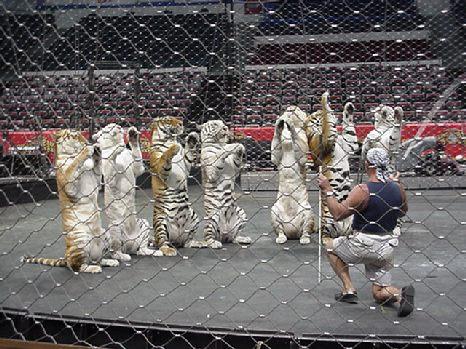 TigerAbuse