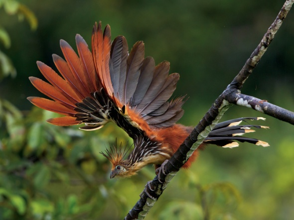 15-hoatzin-spreads-wings-670