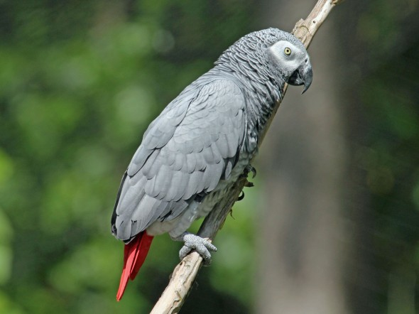 African_Grey_Parrot_RWD2