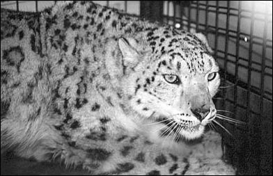 leopard_popup
