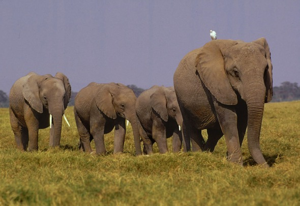 milliken_elephants_savanna_kenya