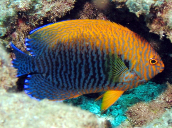 pottersangelfish3