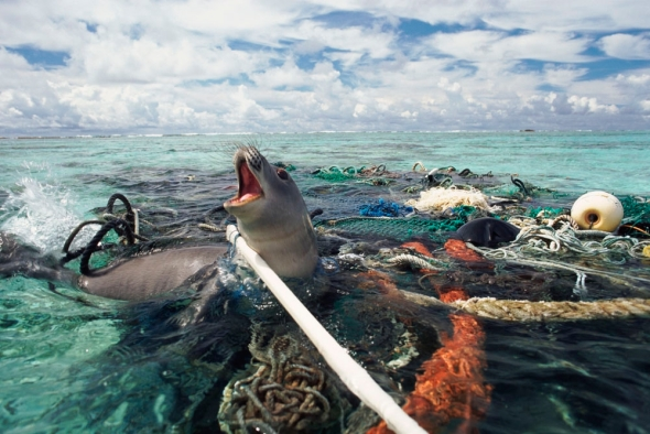 Hawaiian monk seal caught in fishing tackle off Kure Atoll, Pacific Ocean