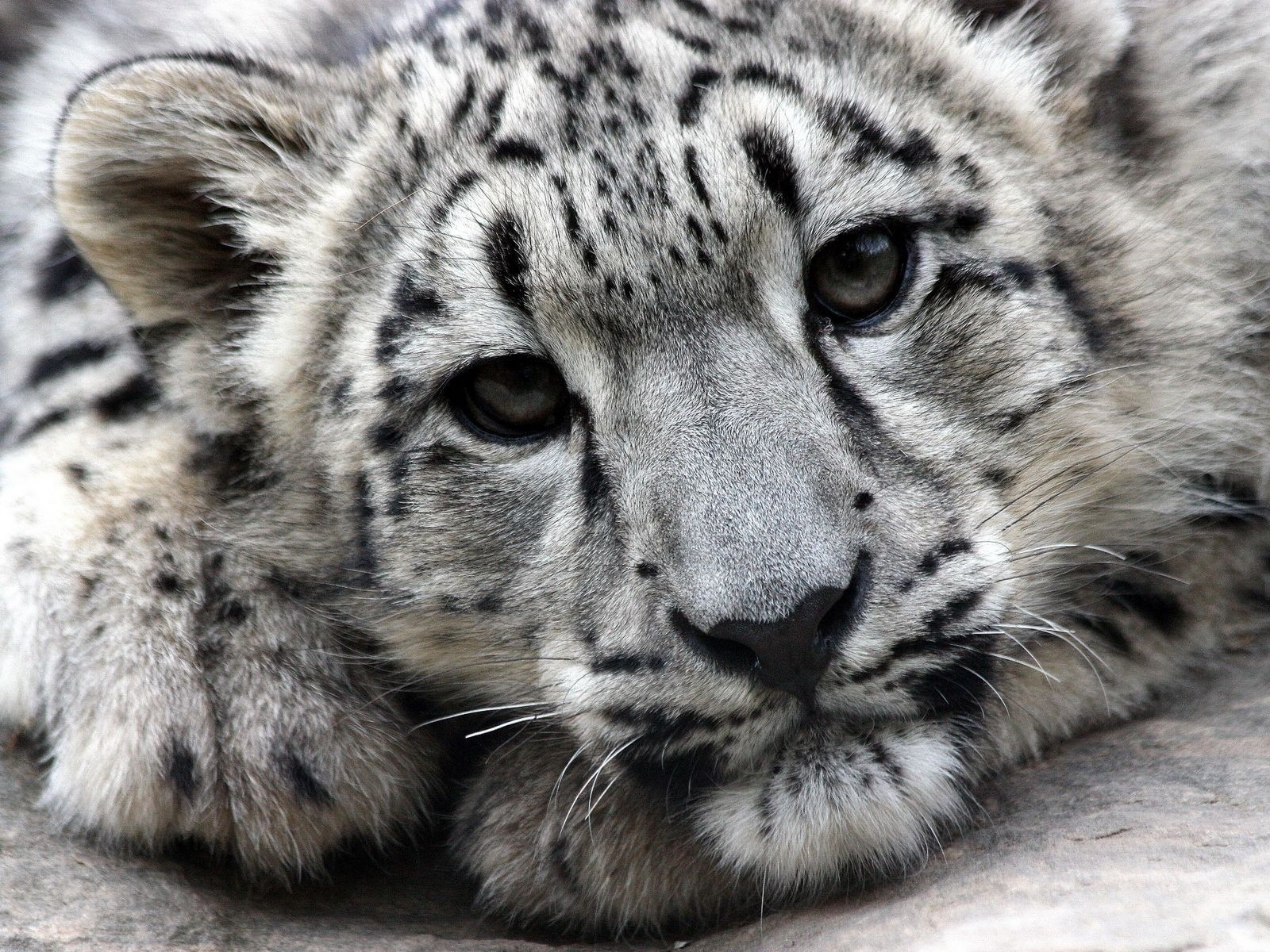 Snow leopard face side - photo#14