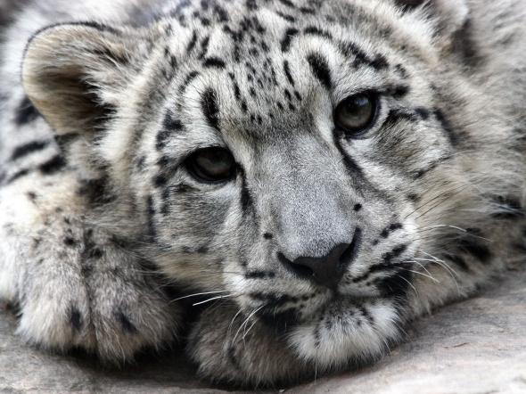 snow_leopard_face_predator_52072_1600x1200