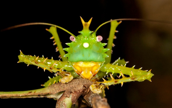 Spike-headed Katydid - Gekrönte Laubheuschrecke