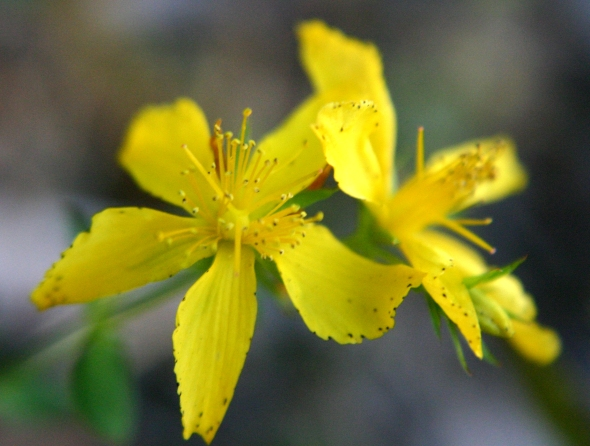 johns_wort_flower_full