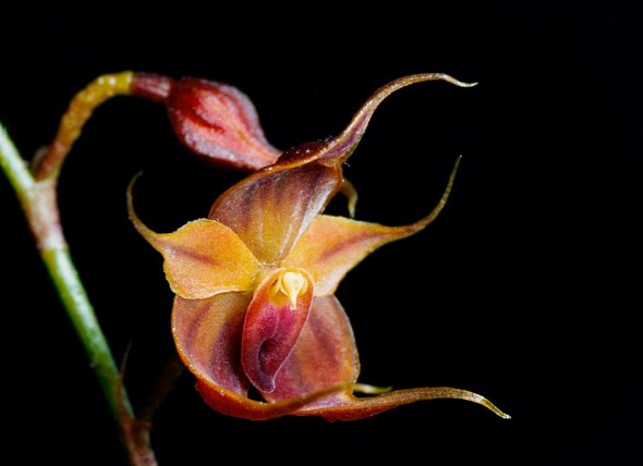 mikos-orchid-teagueia-puroana1