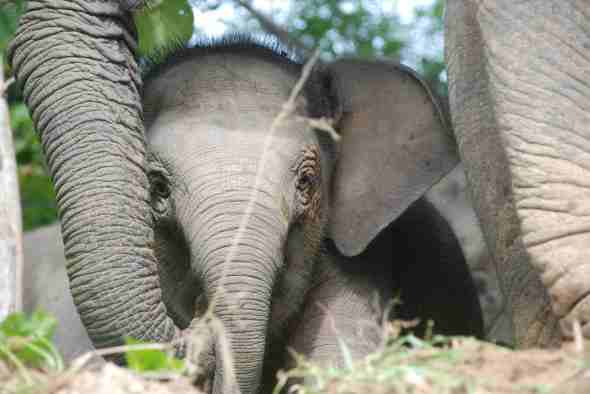 pygmy-elephant-baby-Megan-English-low-res