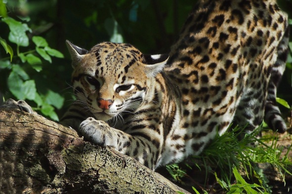beautiful-ocelot-in-the-bushes-247424