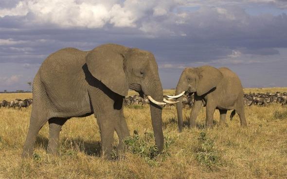 Masai_Mara_-_African_elephant_wallpaper_1440x900