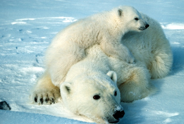 polar_bear_scott_schliebe_usfws