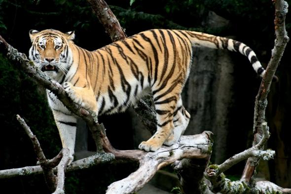 Siberian_Tiger_sf