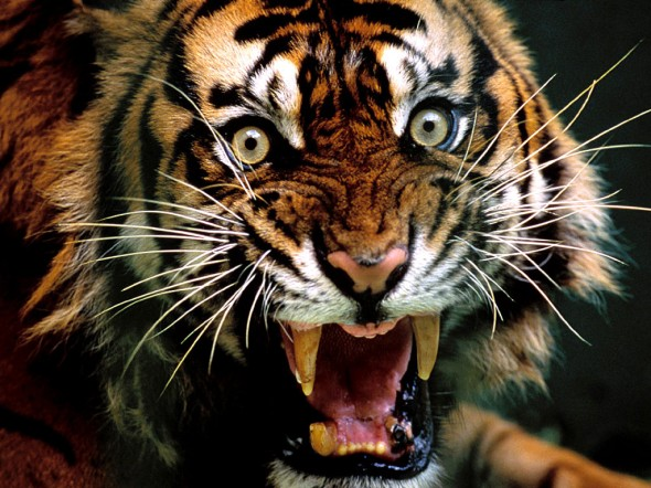angry_tiger_roaring