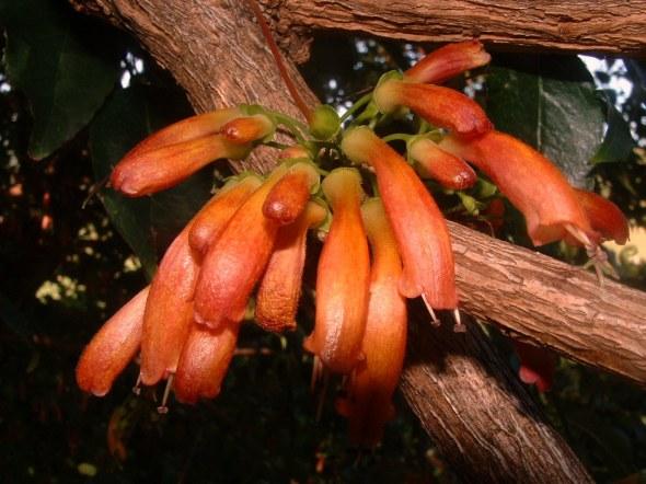 Halleria_lucida_TreeFuschia_flowers_4