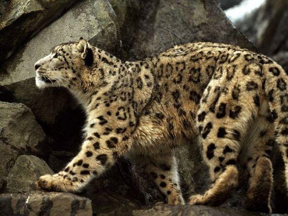 snow-leopard_712_600x450
