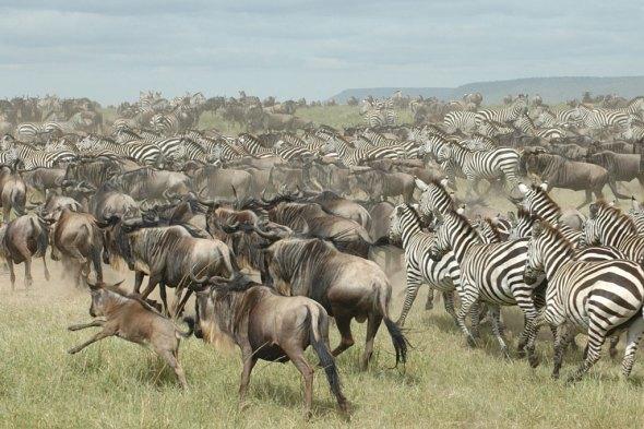 serengeti-wildebeest-zebras