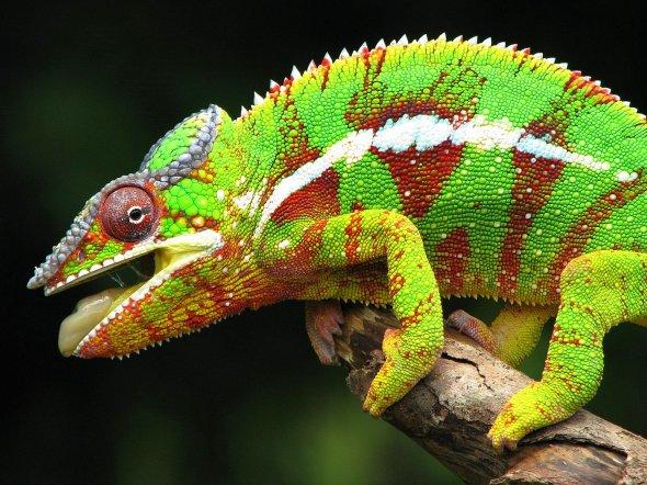 Camaleon-de-colores-a-orillas-del-bosque-