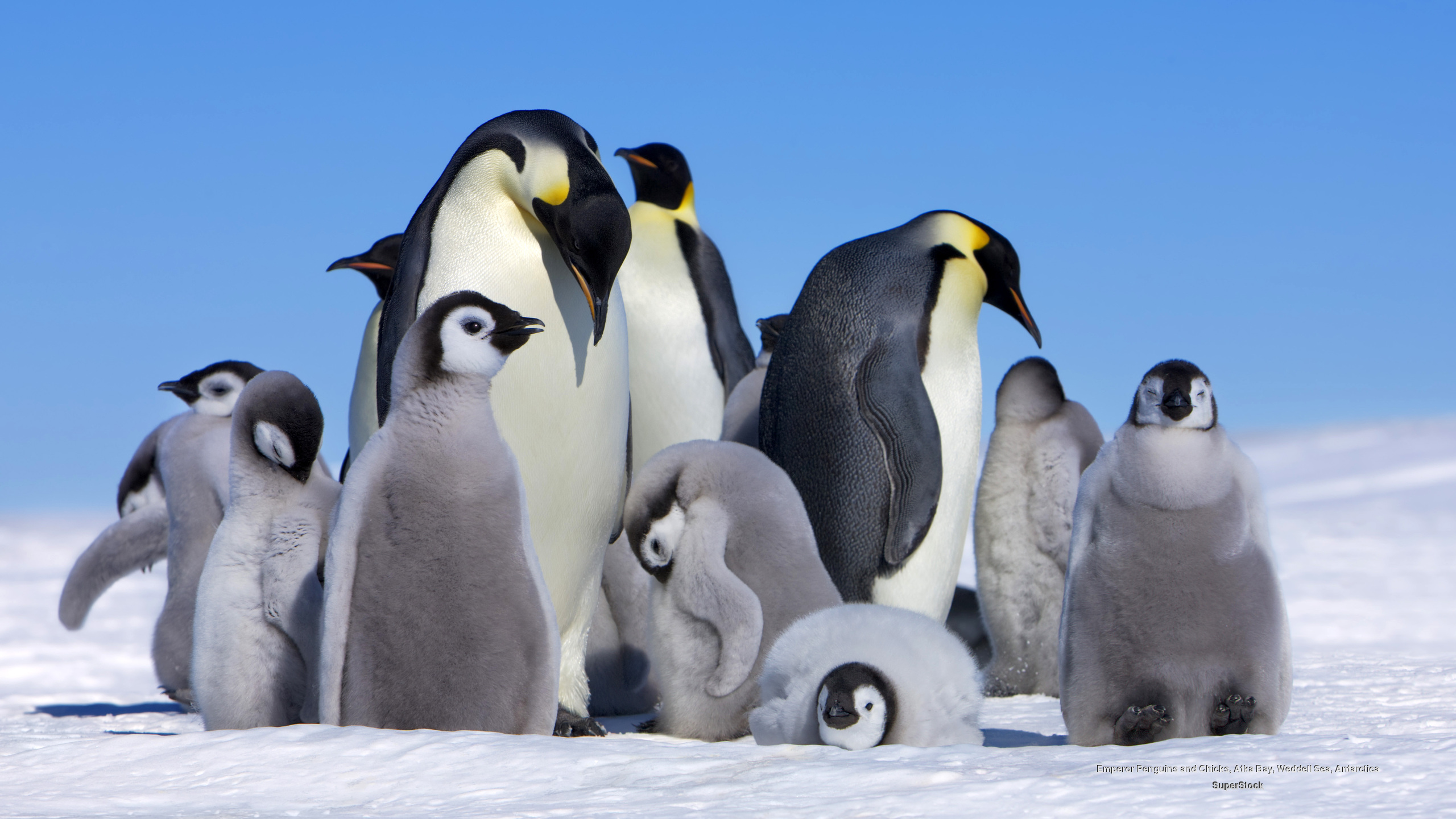 Baby emperor penguin stays with its parents at the polar house of - Emperor Penguin The Big Huddle