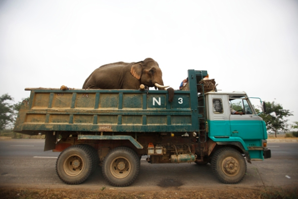 An elephant is being transported in a truck from Taungoo towards Bago