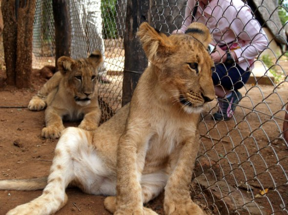 lion-cub-caged-zimbabwe