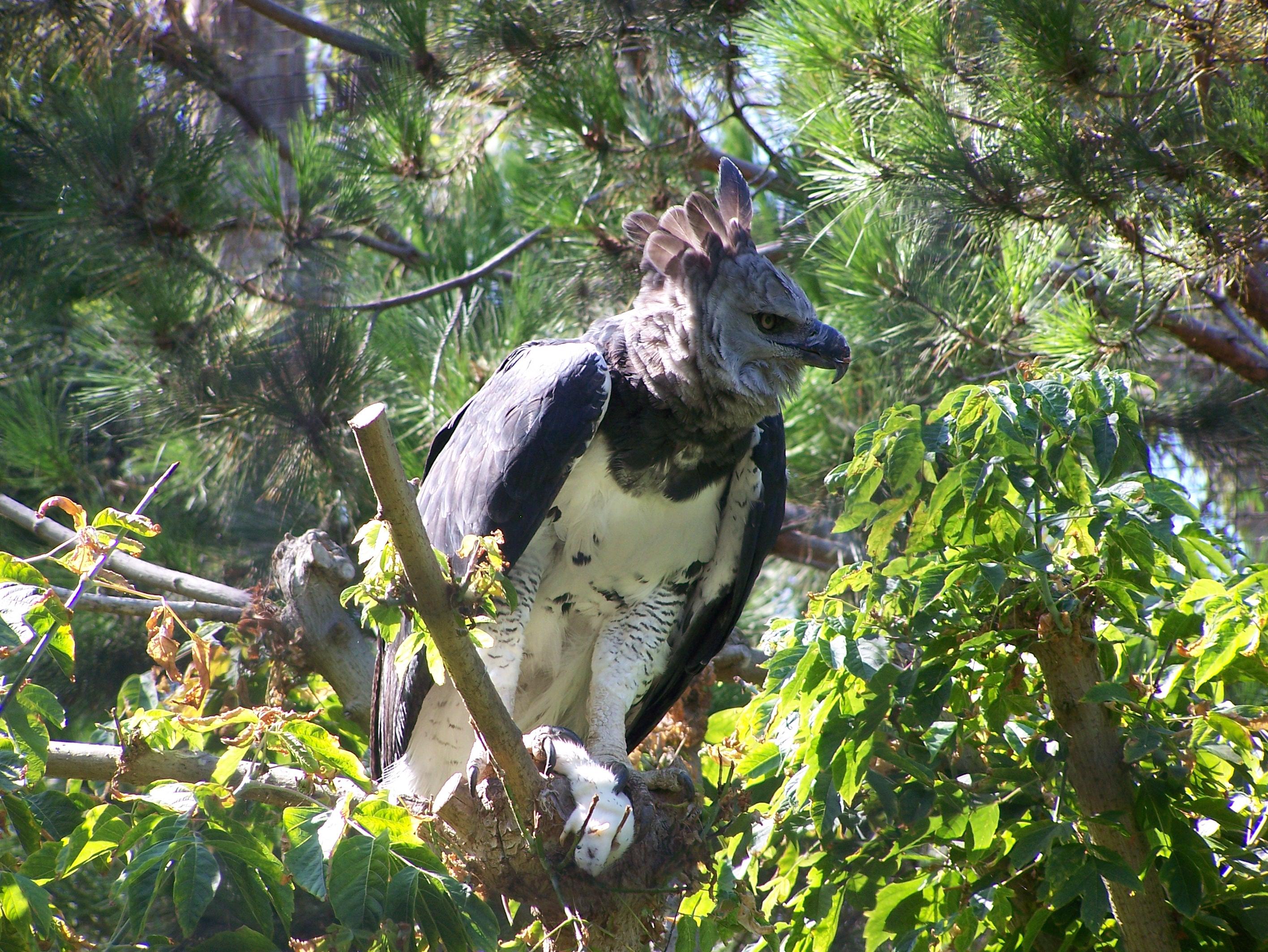 american harpy eagle speak up for the voiceless international