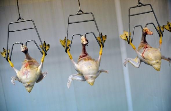 canards-pour-des-foies-gras_128