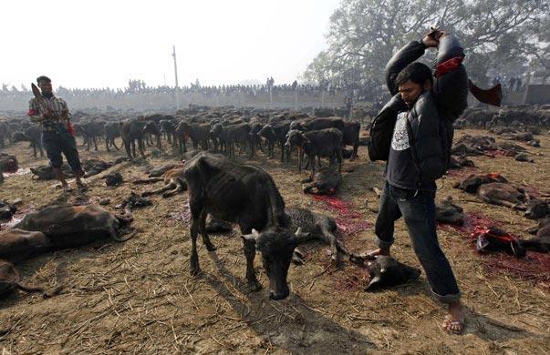nepal animal cruelty 2