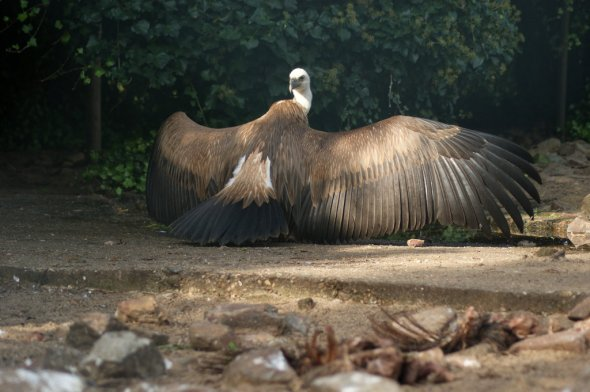 griffon_vulture_by_allaboutbirds-d55sgd9