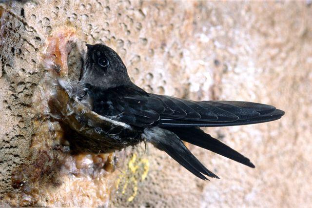 Image result for swiftlet bird nest