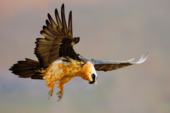 Landing vulture