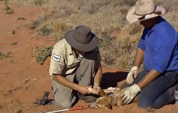 FITTING A DINGO WITH A TRACKING COLLAR