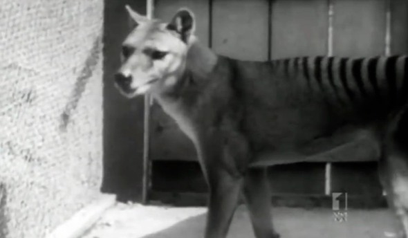 EXTINCT TASMANIAN TIGER