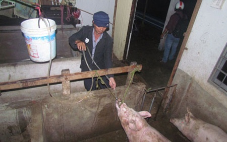 Man caught force-feeding water to his pigs to boost their weight for sale.