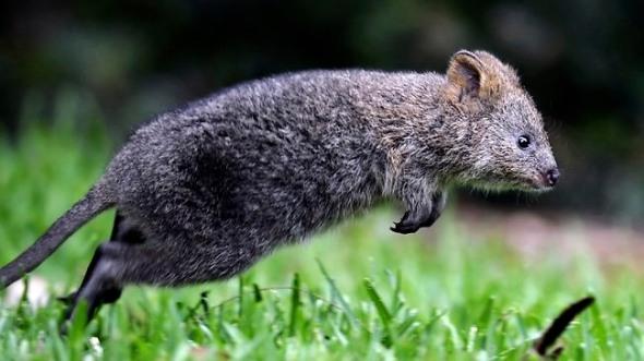 Quokka hopping across the wetlands.