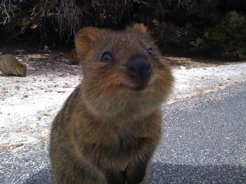 """Quokka """"happiest animal on earth."""""""
