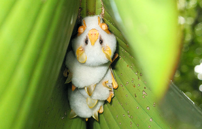 Image result for honduran white bat
