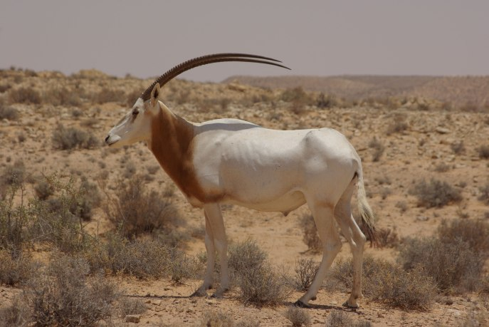 https://speakupforthevoiceless.files.wordpress.com/2014/09/scimitar_horned_oryx___igf_guillaume_roquesrogery.jpg?w=687