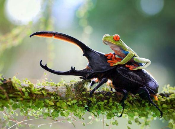 19e4ea4f-ba04-4f61-bf07-136cd708f588_frog-beetle1-060613