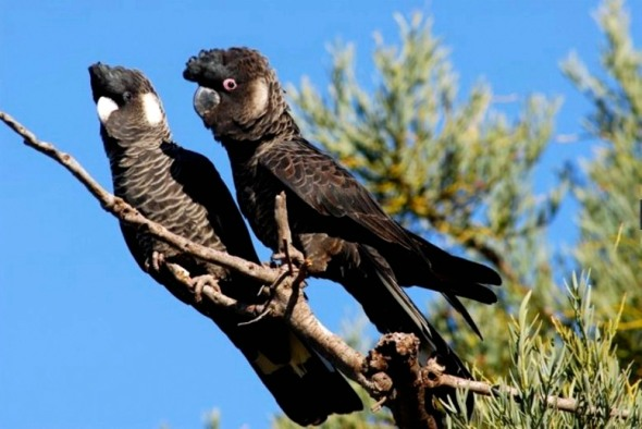 Pair of Carnaby's Black Cockatoos.