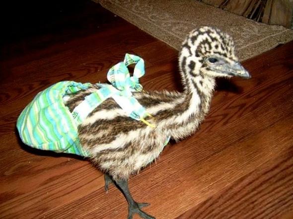 Emu baby 1