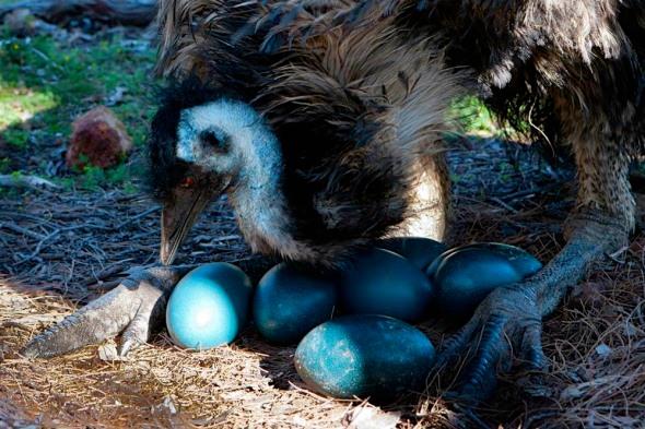 emu-eggs